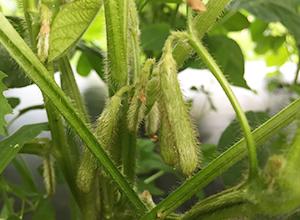 早生黒枝豆栽培